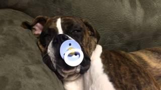 Пёс засыпает под сосание соски