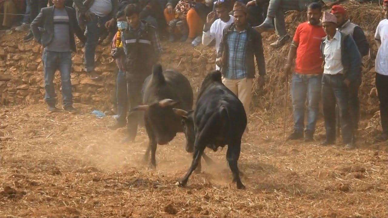 شاهد: قتال الجواميس في مهرجان الحصاد للهندوس لدى الهند ونيبال  - نشر قبل 3 ساعة