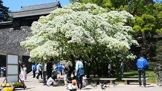 晴天が続いた今月初め、松江市殿町の松江城山(じょうざん)公園で、「なんじゃもんじゃ」の通称で知られるヒトツバタゴが見頃を迎えた。例...