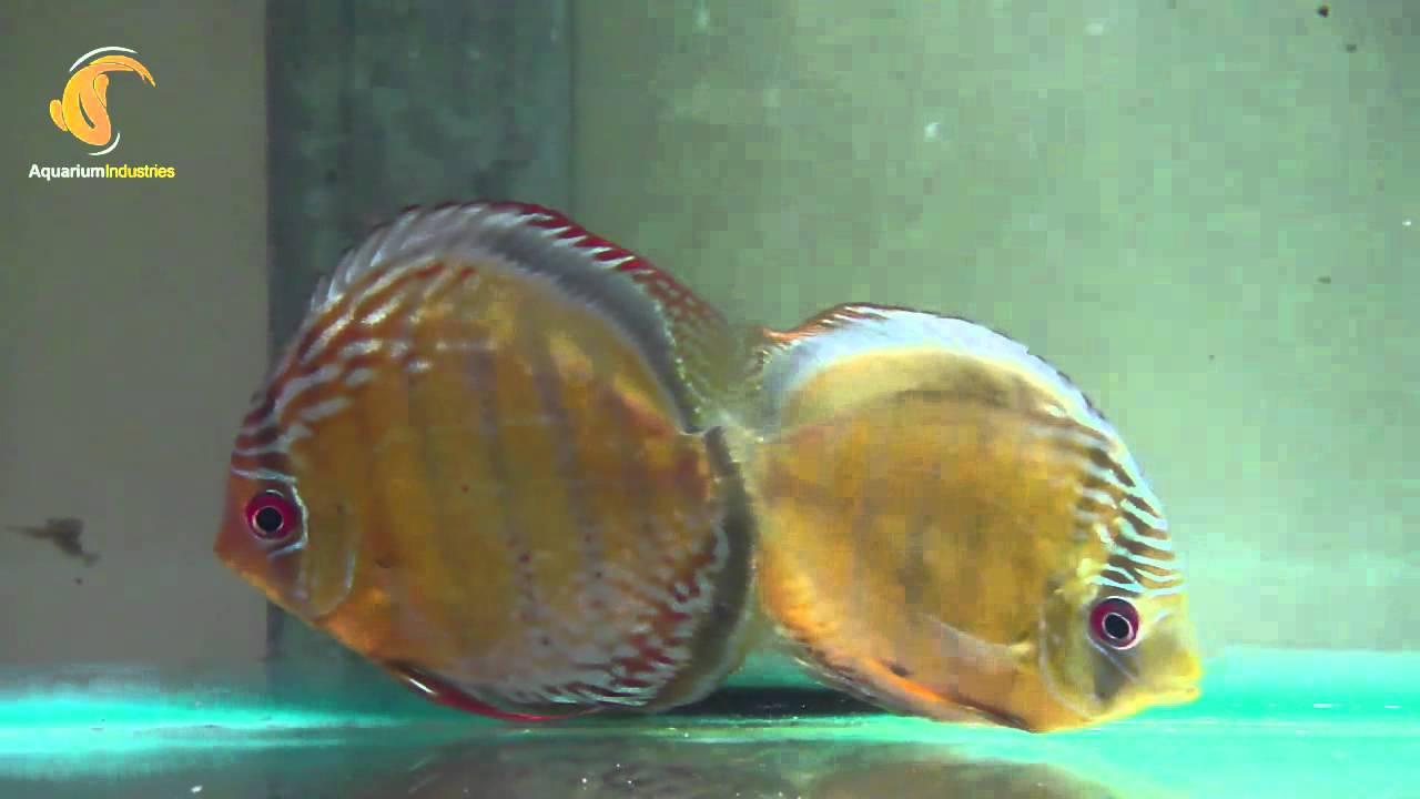 Fish aquarium red spots - 12cm Wild Green Discus Tefe Few Red Spots Aquarium Industries