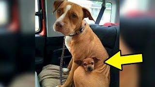 Mann adoptiert einen Pitbull aus dem Tierheim, aber ohne seinen besten Freund will er nicht gehen