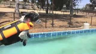 Iq K9 Training | Learning How To Dock Dive Video #3 | Small Dog Training | Oceanside