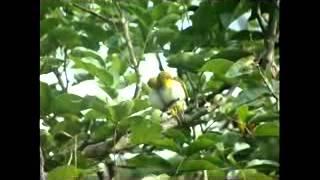 Kompilasi Suara Kicau Burung Pleci Durasi Panjang Mantab!