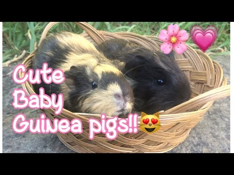 Cute baby guinea pigs - YouTube
