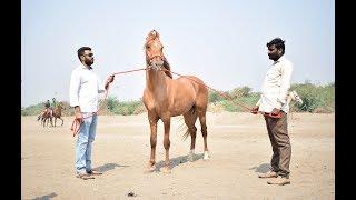 stallion 2 teeth Colt mare horse Kathiyawadi  Brood ring show Surat 2018
