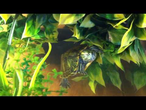 Aquarium tortues Trachemys Scripta Troostii - Sushi & Rocket