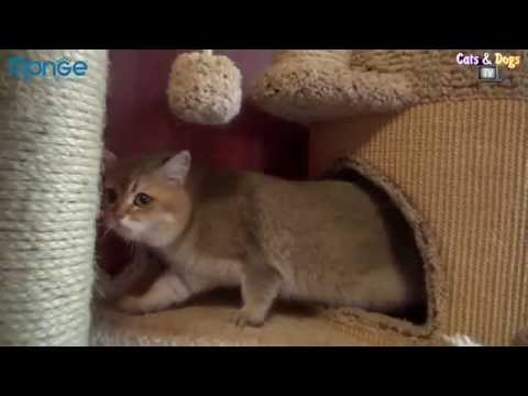 Cats&DogsTV - УДИВИТЕЛЬНЫЙ МИР КОШЕК - БРИТАНСКИЕ ЗОЛОТЫЕ / GOLDEN BRITISH CATS