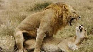 Lions Mating at Zoo Atlanta