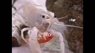 lobster eat goldfish alive! HD