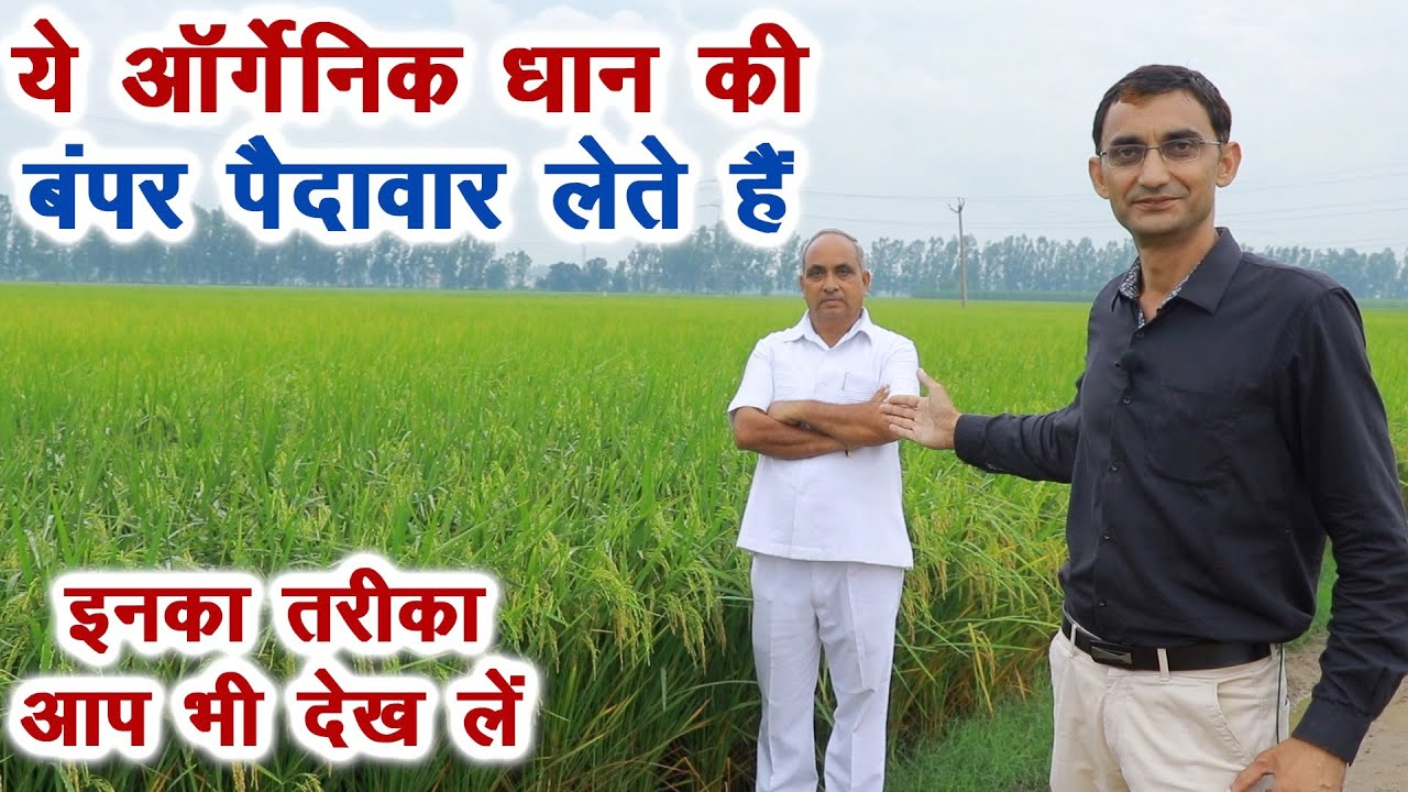 धान की सबसे ज्यादा पैदावार लेते हैं कम खर्च में    तरीका देखकर आंखें खुल जाएंगी    Technical Farming