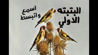 بتبتات رائعة تجعل طائر الحسون (المقنين) يهيج و يغرد بقوة