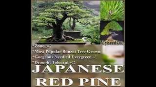JAPANESE RED PINE Tree Seed, Japanese Bonsai,  Pinus densiflora Seeds on  www.MySeeds.Co