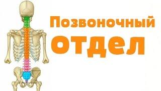 Видео-урок по анатомии. Позвоночный отдел / Хребетний відділ