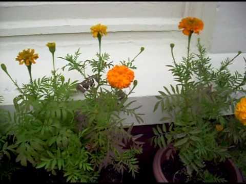 Marigold Flowers - Liverpool -Penny Lane Area