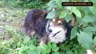 Собака ест черемуху
