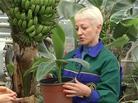 """Банан можно вырастить! """"Зелений настрій"""""""