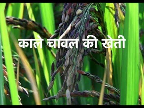 organic-black-rice-cultivation-&-benefits!