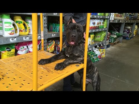 Off Leash Cane Corso | Amazing Georgia Dog Trainers | Atlanta Obedience Training