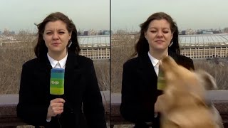 Dog Steals Reporter's Microphone On Live Television