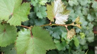 Tips For Planting Grapevines In Pots | Grape Pruning (Urdu/Hindi)