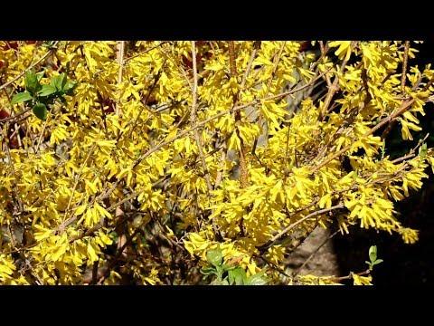 Ваш сад №92 - Весенне-цветущие кустарники