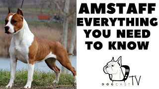AMSTAFF  American Staffordshire Terrier  Everything you need to know!  DogCastTV