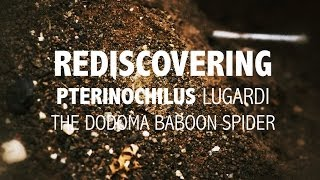 Lost tarantula species found after 100 years! Watch this amazing discovery!