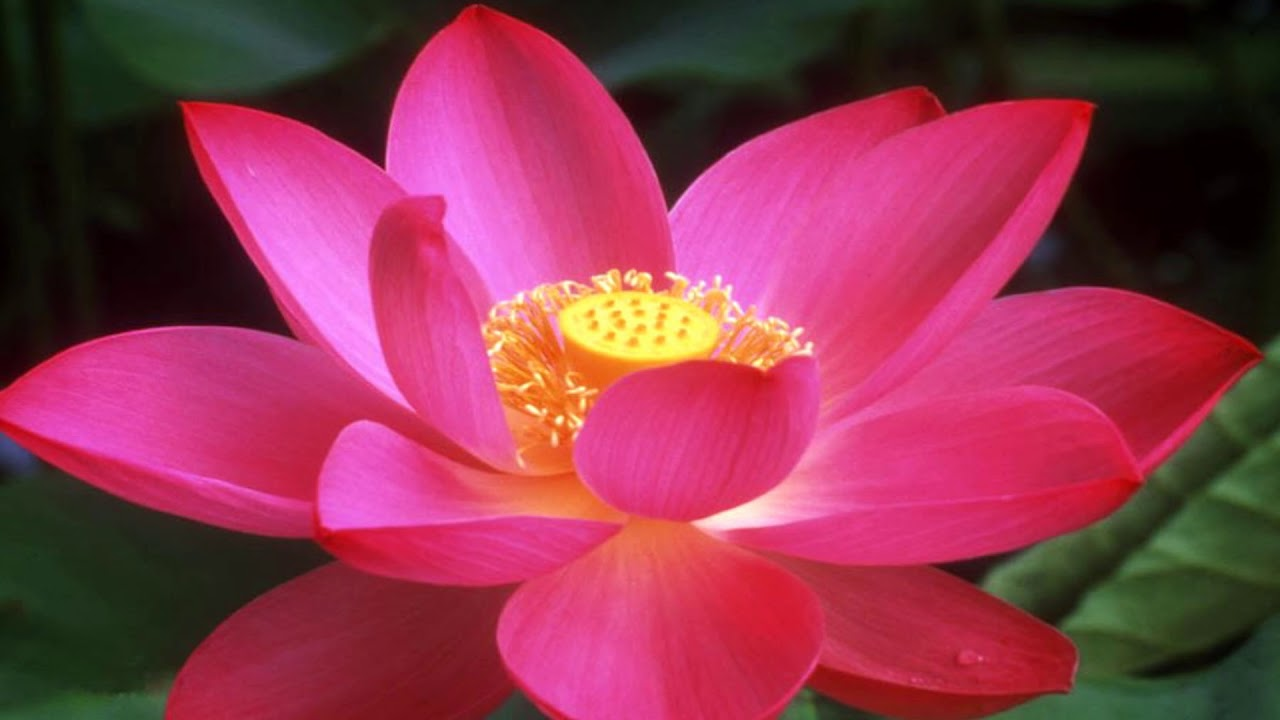 Beautiful Lotus Flowers Hd1080p Youtube