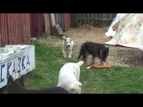 среднеазиатская овчарка и немецкая овчарка купить щенка.