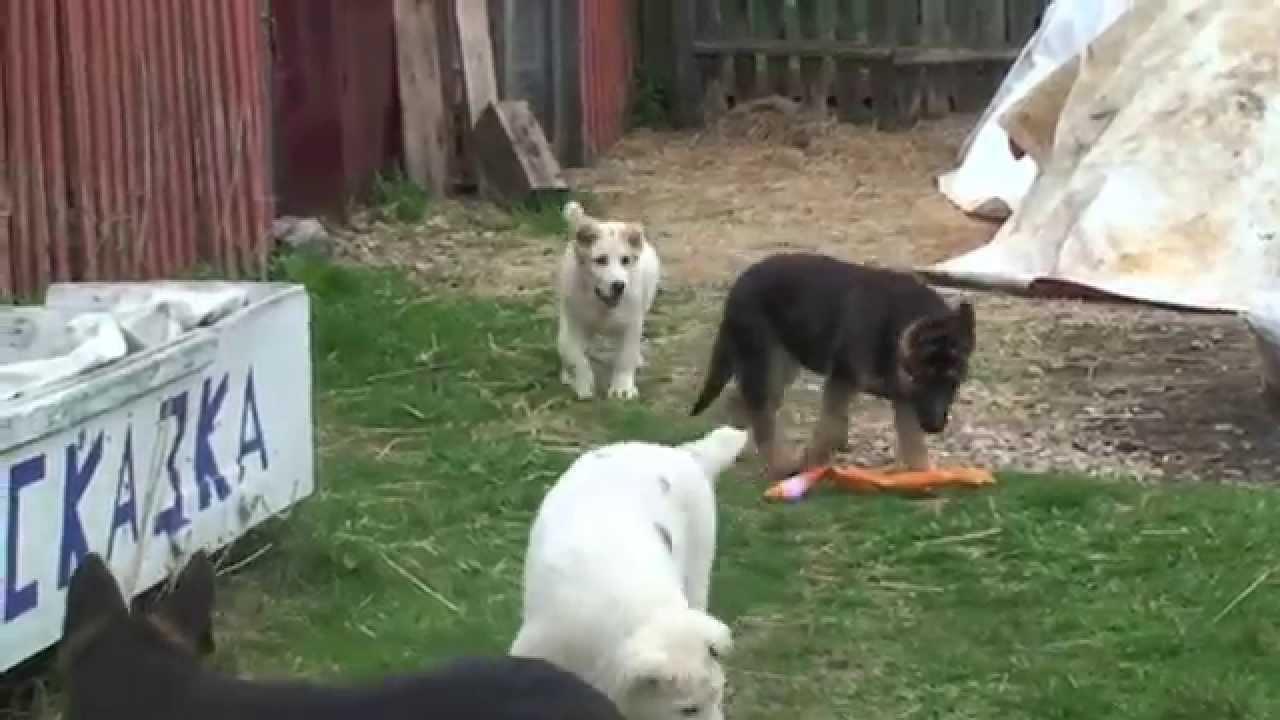 Docking tails puppy. Купирование хвостика щенку той-терьера. - YouTube