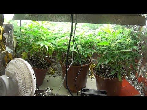 TUTO PTI PLACO: comment récolter 50g de cannabis sans se prendre la tête partie 2