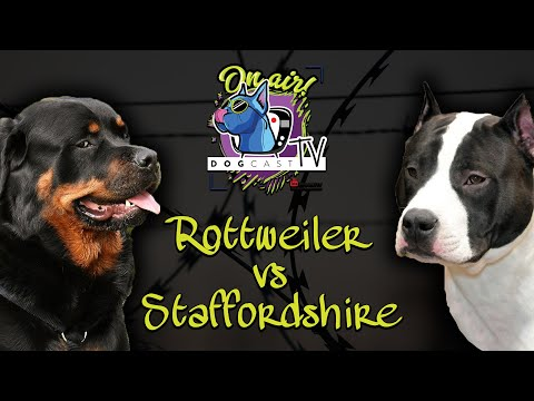 Rottweiler vs Amerikai Staffordshire terrier! Őrző-védő kutya bajnokság! DogCast TV