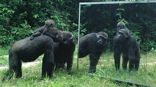 Gabonese Gorilla family all have cool reactions to their mirror reflection except for the silverback(INFORMATIONS on this video TO READ ABSOLUTELY ### ### INFORMATIONS sur cette vidéo A LIRE ABSOLUMENT ### In June 2013 gorillas from the ..., 2016-09-09T17:42:03.000Z)