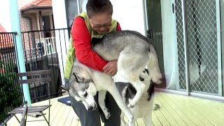 Wolfie the Husky meets Human Mum again after 2 YEARS!