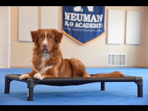 Cheif (Duck Tolling Retriever) Boot Camp Dog Training Demonstration