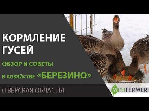 Чем кормить гусей? Рацион, суточные нормы, и другие секреты в хозяйстве Березино.