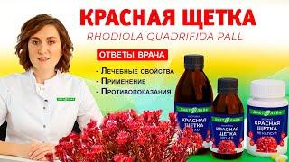 Красная щетка родиола морозная лечебные свойства применение для женщин противопоказания