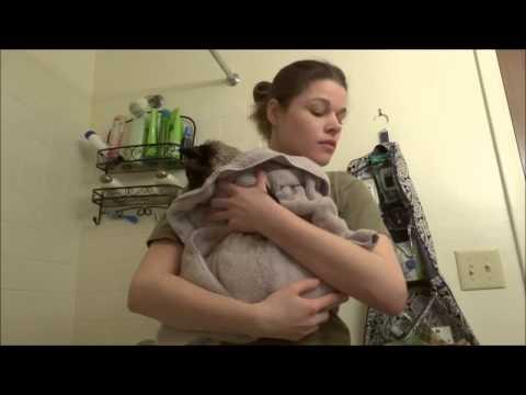 Max the Siamese Cat's Bath