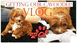 Getting Our Cavoodle! (puppy) | Vlog | Tobie Hickey