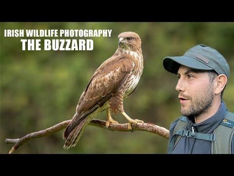 Buzzard - Irish Wildlife Photography