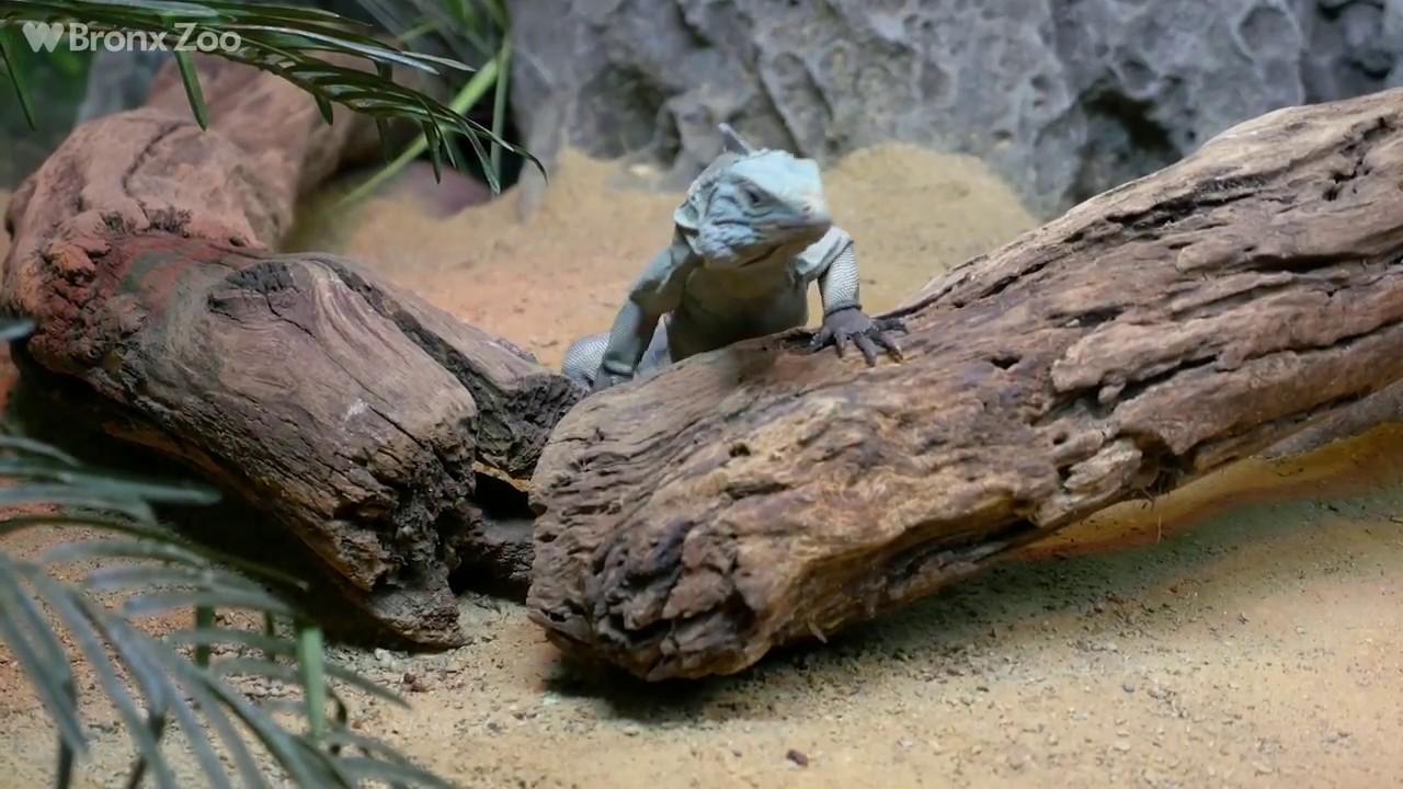 Blue Iguana Exhibit