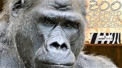 Gorillas im Zoo Krefeld 🦍 Die Senioren-Gruppe   zoos.media