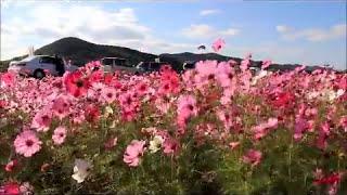2006年兵庫国体でおもてなしの一環として始めたコスモス祭り 今年で...