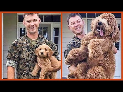 Hilariously Adorable Goldendoodles