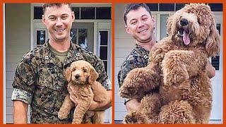 Hilariously Adorable Goldendoodles