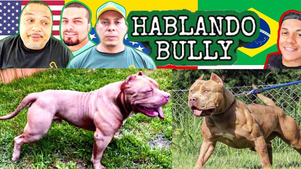 American Bully Y Pit Monster Perros Molosos