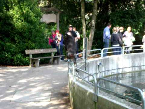 Mandrill escapes from the enclosure