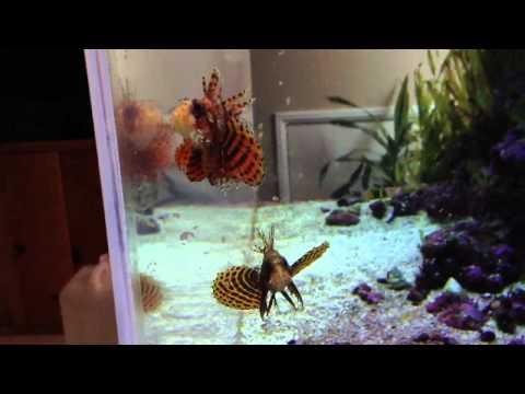 100g Lion/Wasp/Scorpionfish Tank.