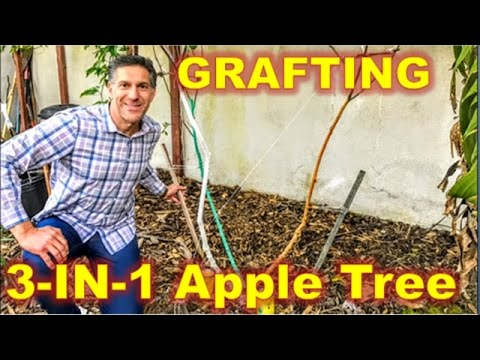 3-IN-1 APPLE TREE | Approach & Cleft GRAFTING | THE 3 SHADES OF IV ORGANICS