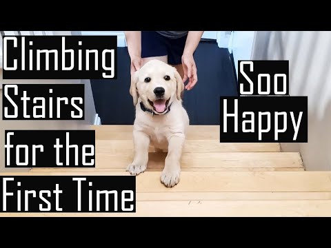 Our Labrador Puppy Climbing Stairs for the First Time [Then & Now] (Hindi with English Subtitles)